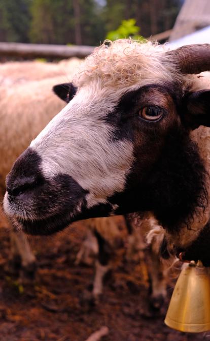 «Гуцульська овеча бриндзя»– один из трех украинских продуктов с защищенным географическим происхождением. Как ее изготавливают